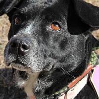 Springer Spaniel/Labrador Retriever Mix Dog for adoption in Olympia, Washington - Gwen