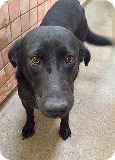 Labrador Retriever Mix Dog for adoption in Boca Raton, Florida - Trish