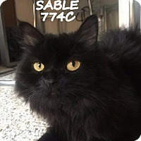 Adopt A Pet :: Sable - Spring, TX