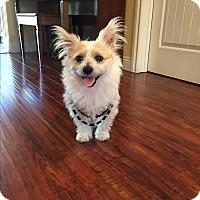 Adopt A Pet :: Simon - West Los Angeles, CA