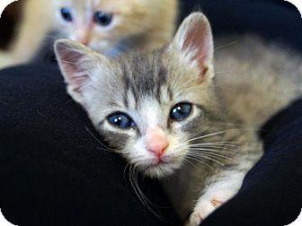 Domestic Shorthair Kitten for adoption in St. Louis, Missouri - Cicero