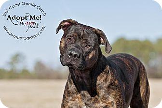 Cane Corso Puppy for adoption in Virginia Beach, Virginia - Colt
