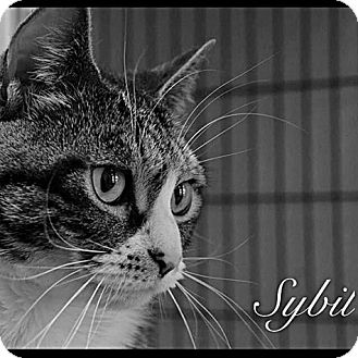 Domestic Shorthair Cat for adoption in Brookhaven, New York - Sybil