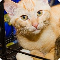 Adopt A Pet :: Gnocci - Irvine, CA