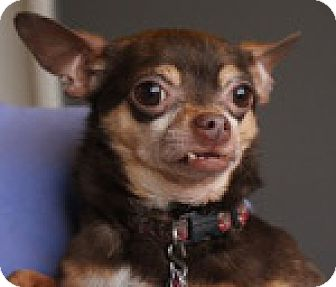 Chihuahua Mix Dog for adoption in Georgetown, Colorado - Ricco