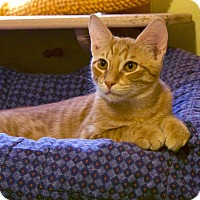 Domestic Shorthair Kitten for adoption in Metairie, Louisiana - Dart - Sweet Orange Kitten