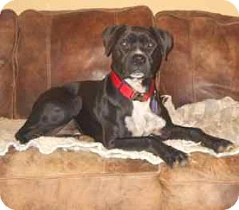 Pit Bull Terrier/Labrador Retriever Mix Dog for adoption in McArthur, Ohio - BALDR