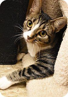 Domestic Shorthair Kitten for adoption in Hillside, Illinois - Simone-5 MONTHS