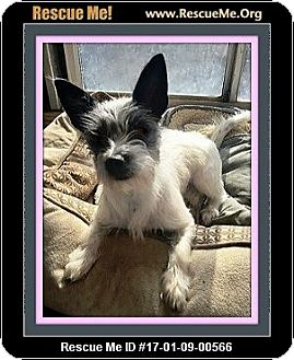 Fox Terrier (Toy)/Border Terrier Mix Puppy for adoption in Rancho Cucamonga, California - Jazzie