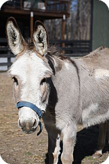Donkey/Mule/Burro/Hinny Mix for adoption in West Grove, Pennsylvania - Monet