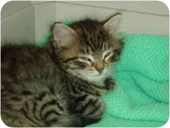 Domestic Longhair Kitten for adoption in Pascoag, Rhode Island - Pippy