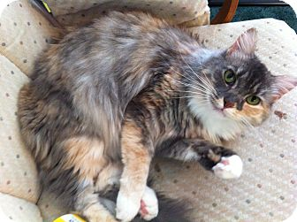 Hemingway/Polydactyl Cat for adoption in Easley, South Carolina - Maddie
