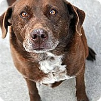 Labrador Retriever Mix Dog for adoption in Fairfax Station, Virginia - Jayley