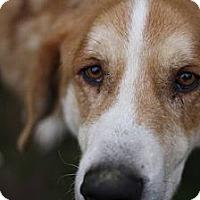 Adopt A Pet :: Sampson - Puyallup, WA