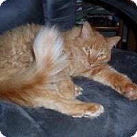 Adopt A Pet :: Lucas (dog-like/lapsitter) - Arlington, VA