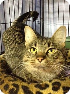 Domestic Shorthair Cat for adoption in Byron Center, Michigan - Mama Gato