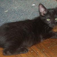 Domestic Shorthair Kitten for adoption in Acme, Pennsylvania - MALCOM