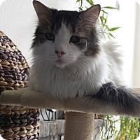 Adopt A Pet :: Cat-Latte - Denver, CO