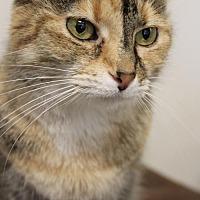 Domestic Mediumhair Cat for adoption in Columbus, Ohio - Penny