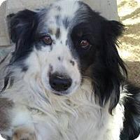 Adopt A Pet :: Sky - Las Vegas, NV