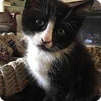 Siamese Kitten for adoption in San Jacinto, California - Castiel