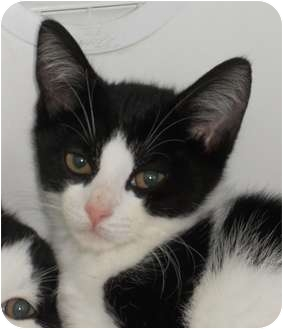 Domestic Shorthair Cat for adoption in Maywood, New Jersey - Blaze