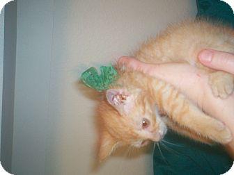 American Shorthair Kitten for adoption in Austin, Texas - Rambo
