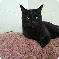 Domestic Shorthair Cat for adoption in House Springs, Missouri - CT