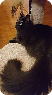Domestic Longhair Cat for adoption in Arcadia, California - Ash