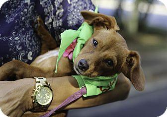 Dachshund Mix Puppy for adoption in Alpharetta, Georgia - Isla