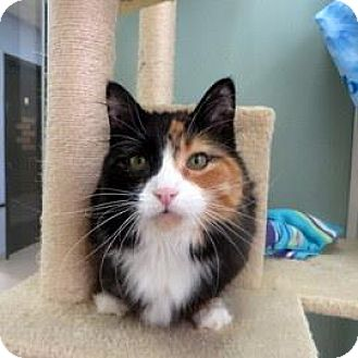 Domestic Shorthair Cat for adoption in Janesville, Wisconsin - Greta