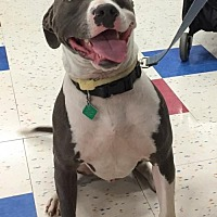American Pit Bull Terrier/Pit Bull Terrier Mix Dog for adoption in Clarkston, Michigan - Indigo *Courtesy Post*