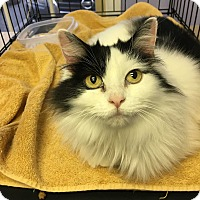 Domestic Longhair Cat for adoption in Clarksville, Tennessee - Helga Hufflepuff