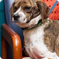 Adopt A Pet :: Brindy - Evansville, IN