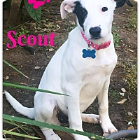 Adopt A Pet :: Scout - West Hartford, CT