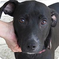 Adopt A Pet :: Brennan~ Miracle - St Petersburg, FL