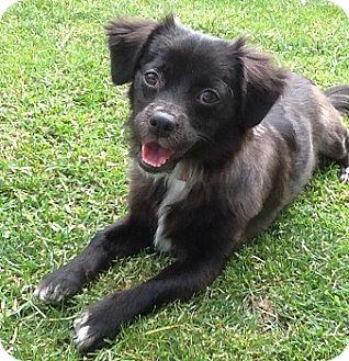 Pomeranian Mix Puppy for adoption in Hamilton, Ontario - Cherry