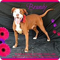 Adopt A Pet :: Brandy - Plano, TX