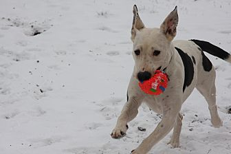 Great Dane/Labrador Retriever Mix Dog for adoption in Georgetown, Texas - Dixie