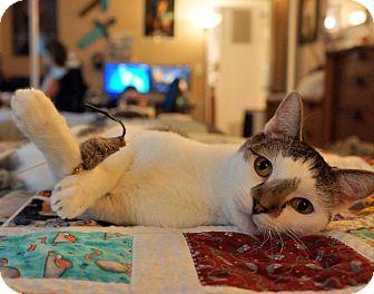 Egyptian Mau Cat for adoption in Los Angeles, California - Hugo