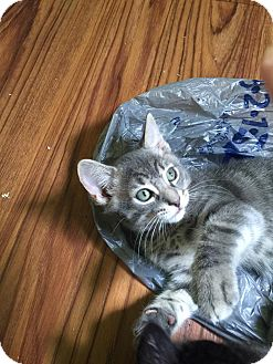 Domestic Shorthair Kitten for adoption in Chicago, Illinois - Digglet