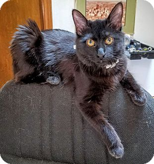 Domestic Mediumhair Cat for adoption in Dallas, Texas - Freya