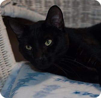 Domestic Shorthair Cat for adoption in New Martinsville, West Virginia - Apollo