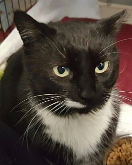 Domestic Shorthair Cat for adoption in Freeport, New York - Esmerelda