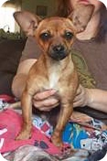 Chihuahua Mix Puppy for adoption in Breinigsville, Pennsylvania - Miller **In a foster home**