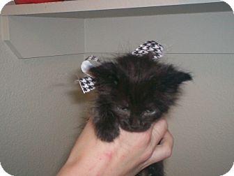 Domestic Longhair Kitten for adoption in Austin, Texas - Mellie