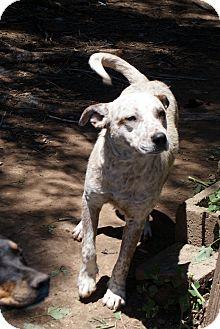 Australian Cattle Dog/Shepherd (Unknown Type) Mix Dog for adoption in Glenpool, Oklahoma - Spotty