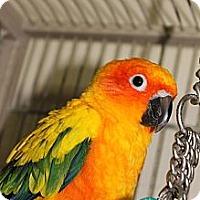 Adopt A Pet :: Blaze - St. Louis, MO