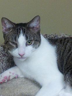 Domestic Shorthair Cat for adoption in Hazlet, New Jersey - JoJo