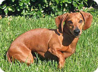 Dachshund Dog for adoption in Salem, New Hampshire - WALLY